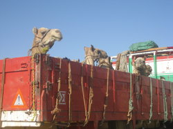 Birqash ラクダ市場