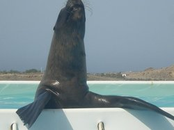 One of the sealions