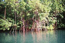 Red mangrove trees