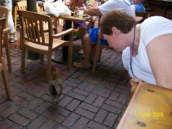 talking to a rooster at Hogs Breath in Key West
