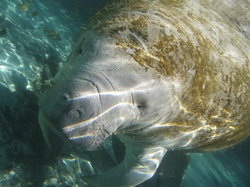 Manatee Connection