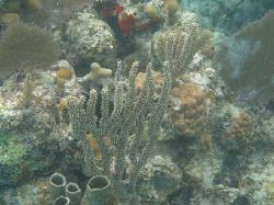 Snorkeling in beds of coral