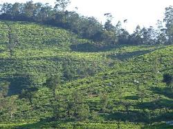 View of surrounding tea plantation