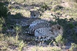 These Cheetah were huge, a pair of hunting brothers who took no prisoners apparently.