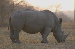 Rhinos galour