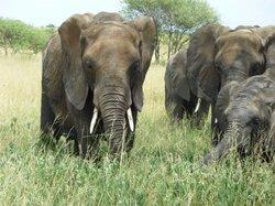 elephants (24658907)