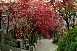 Maple Leaf (25193674)