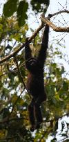 The Hoolock Gibbon(Lesser Ape)found in the Gibbon Wildlife Sanctuary near Kaziranga,Assam,India