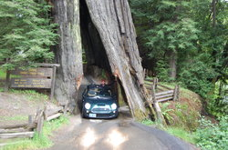 Shrine Drive-Through Tree