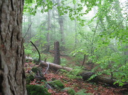 Primeval Beech Forests of the Carpathians