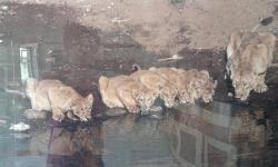 lions and cubs at gir