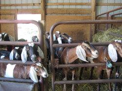 Poplar Goat Farm Tours