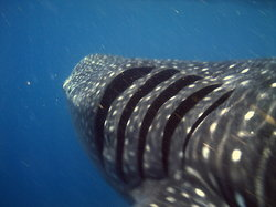 Underwater expeditions - Whale Shark Tour