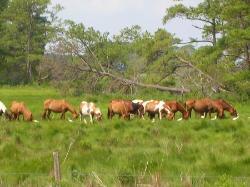 Chincoteague ponies (27010248)
