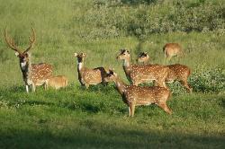 Beautiful axis deer!