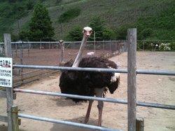 Ostrich Kingdom Sodegaura Farm
