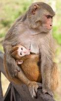rhesus macaque mother and baby; this species was everywhere - including in our room at one point