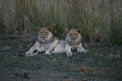 One year old cubs