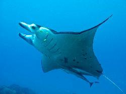 Manta ray in full flight