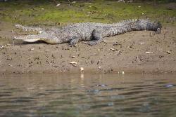 Alligator at Tamarindo Estuary