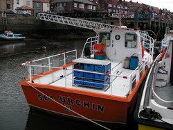 Sea Urchin III