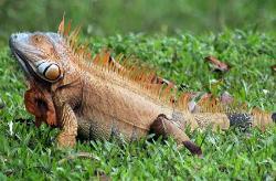 iguanas, garrobo male