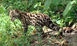 margay leopards
