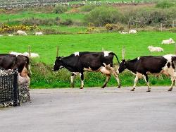 Cows making their own way to get milked