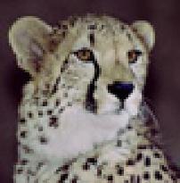 cheetahguy
