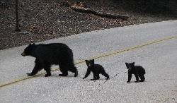 Black Bear and twin cubs
