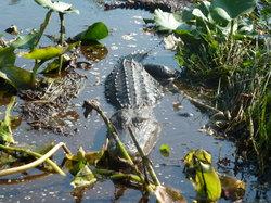 Kissimmee Swamp Tours