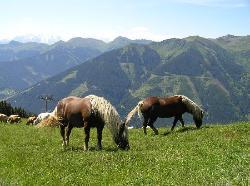Ponies grazing (32247661)