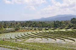 Les rizières