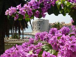 Bouganvilla in full bloom, Dubrovnik (32766708)
