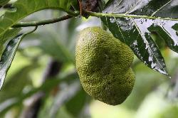 Bread fruit on the tree above the pool side cafe