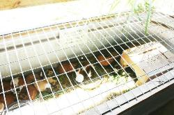 30+ guinea pigs for sale for $20, their water bowl had feces in it, and they were overheated and