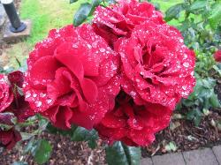 Les roses de Mystical Rose