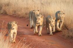 Glorious Safaris