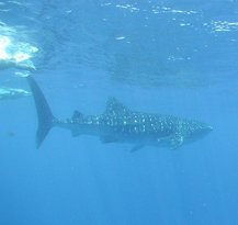 Isla Mujeres Whale Shark Tours by Searious Diving