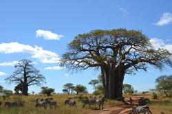 baobab et zèbres (35766155)