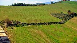 vigne ed ulivi nel Picenoshire