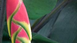 Eliconial, la fleur prise dans le jardin