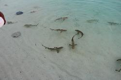Daily shark feeding