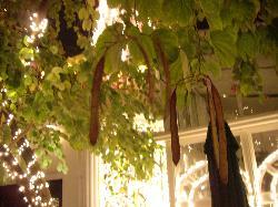 ホテル中庭の豆の木