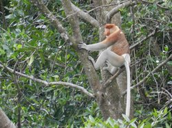 Brunei Proboscis Monkey River Safari