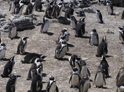 ‪Stony Point Penguin Colony‬