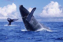 Whale Watching Photo Safari by Vallarta Adventures