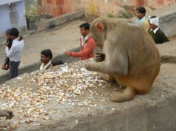 Monkey Temple (Galta Ji)