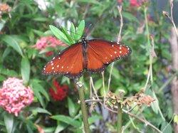 Homosassa Butterfly
