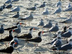 Lots of birds!  Black skimmers, laughing gulls, ring-billed gulls